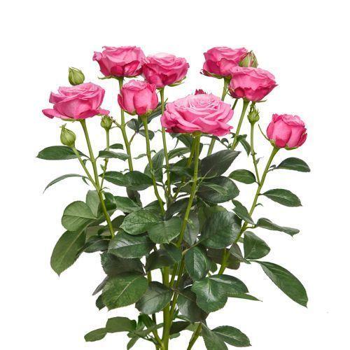 6 kartochka tovara 1 ledi bombastik 1200x1200 cr bannermd - Роза спрей розовая