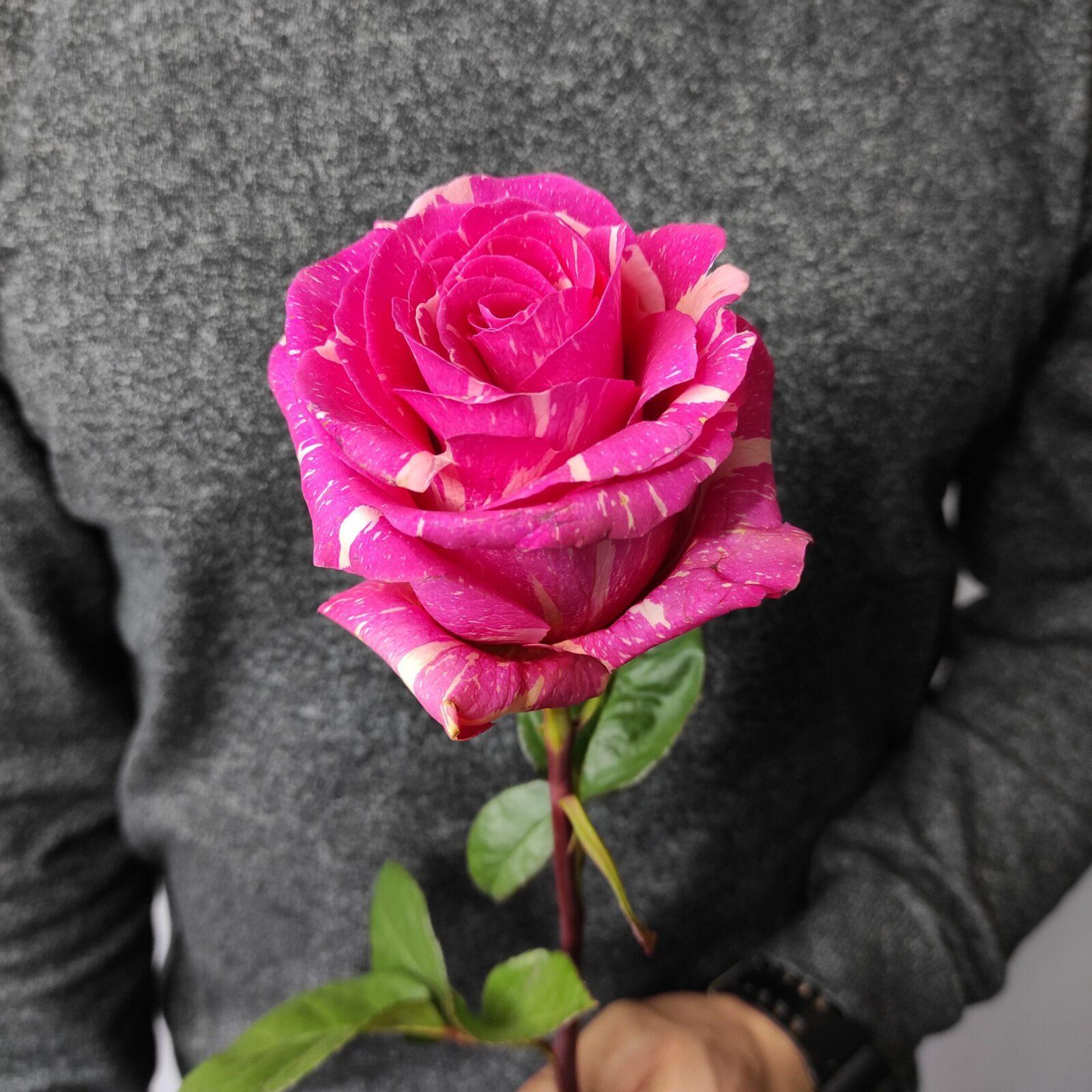 img 20201122 150608 scaled - Розы малинового цвета
